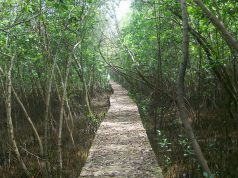 kontribusi hutan mangrove